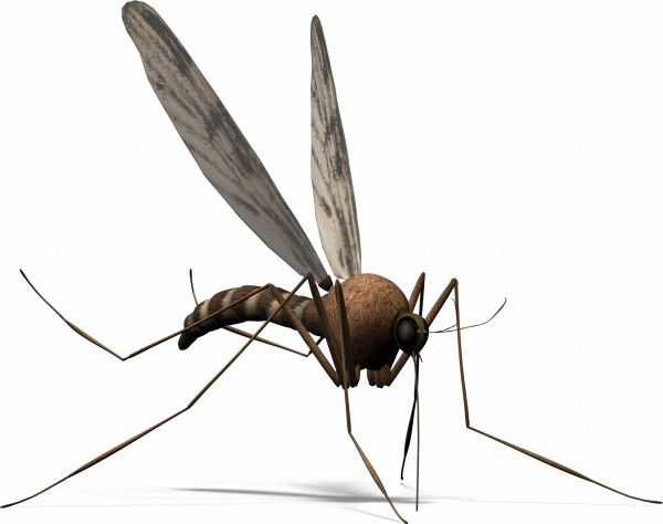 the mosquito carries deadly diseases with it, such as malaria and so is the most dangerous animal in the rainforest