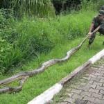 شاهد فيديو افعى اناكوندا في غابات الامازون