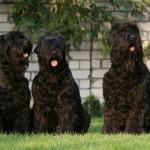 معلومات عن الكلب الروسي الأسود