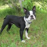 معلومات عن كلب بوسطن تيرير