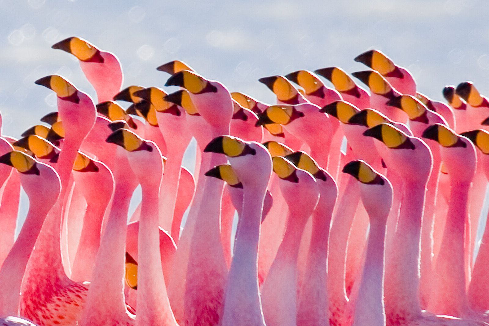 Flamingos are large birds