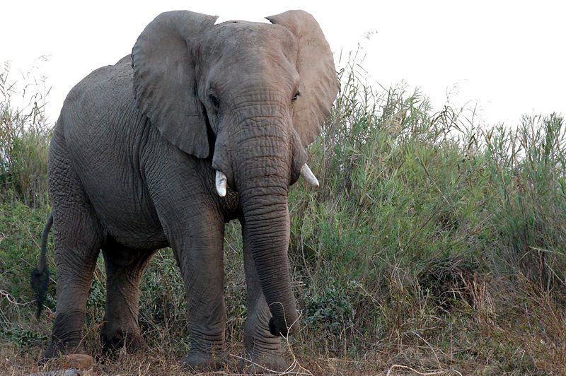 Forest elephants are an elusive subspecies of African elephants