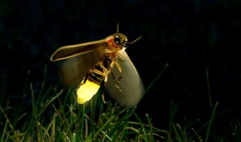 firefly insect information - 806×476