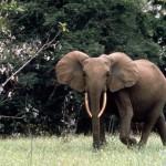 معلومات عن فيل الغابات الافريقية