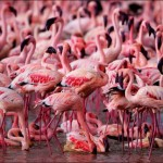 طيور النحام الوردية