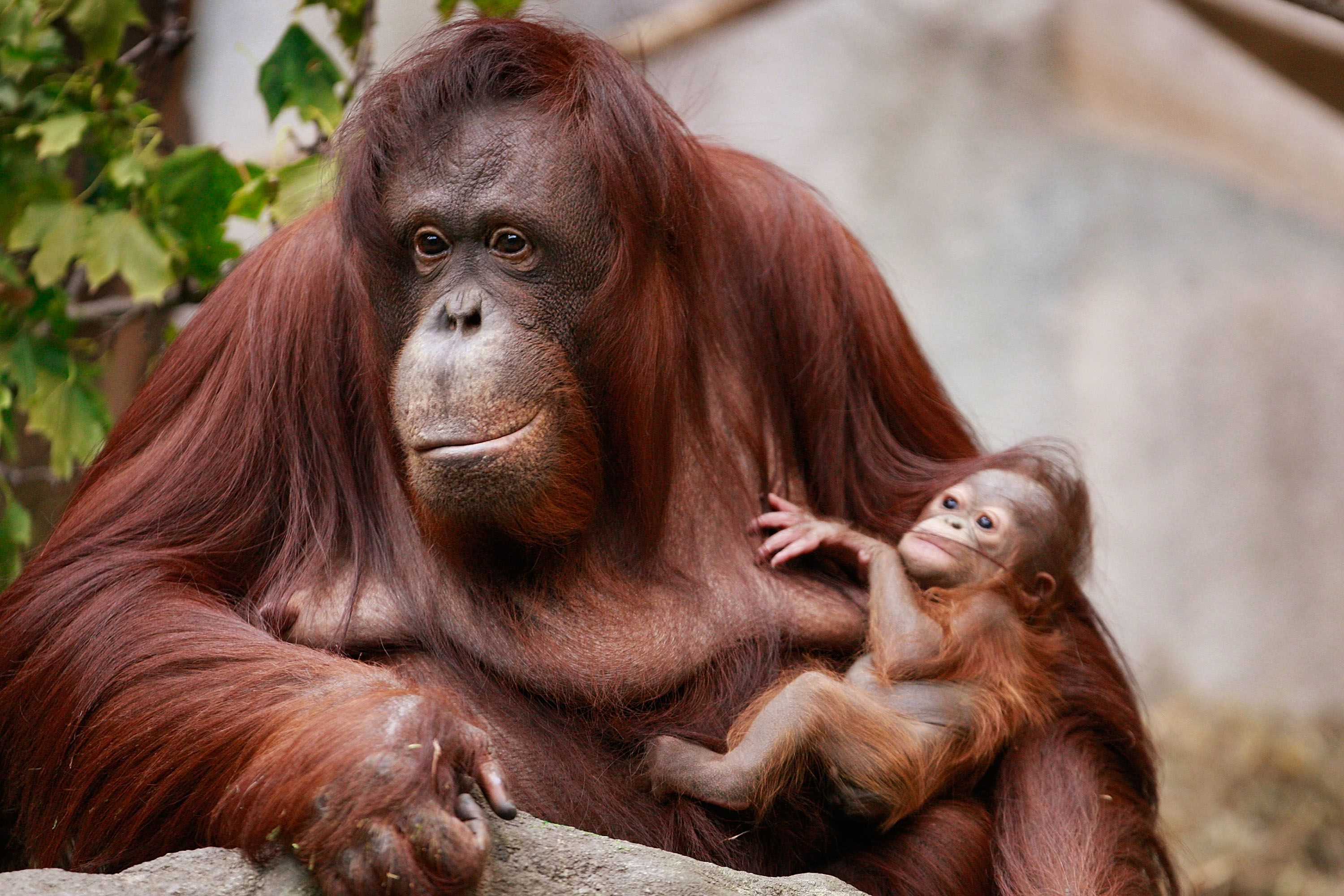 The Bornean Orang-utan is covered in patchy red