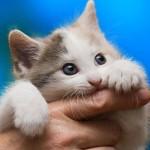 مرض خدش القطة