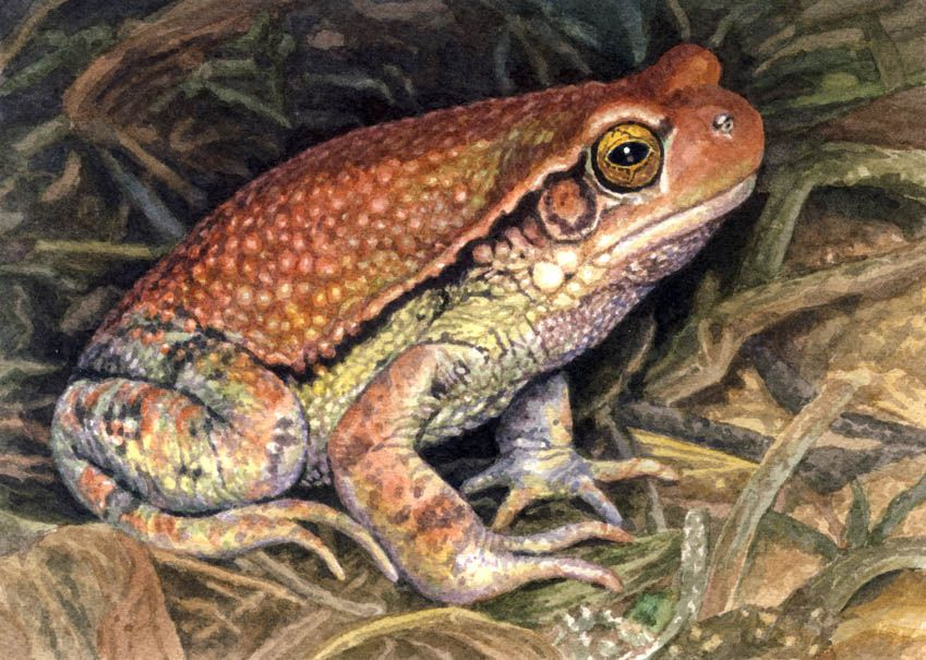 the African giant toad
