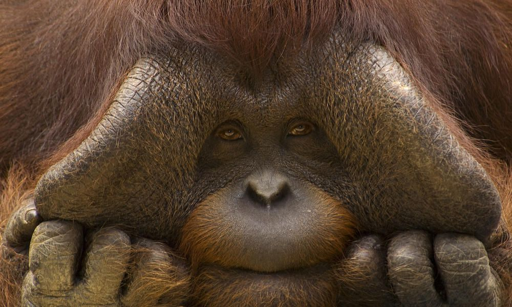 the Bornean Orang-utan is the second largest ape species in the world