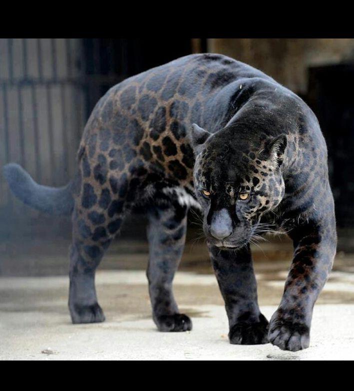 النمر الاسود اللون الاخضر A-black-panther-is-t