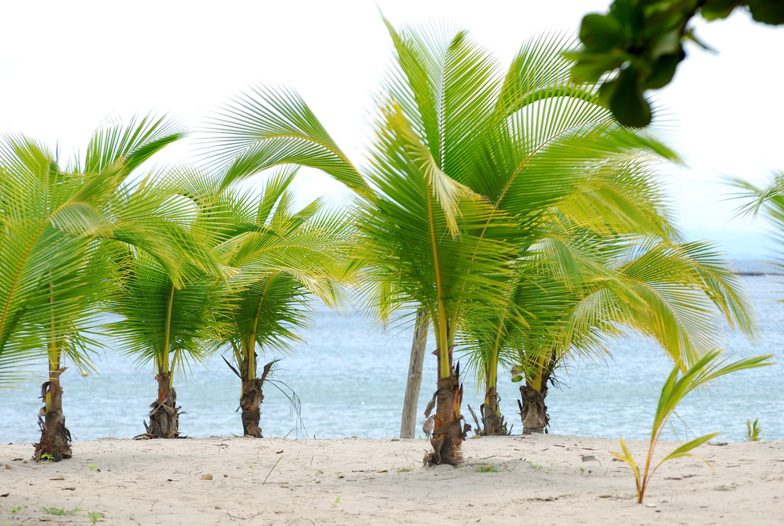 Pictures- of Different Types of Palm Trees