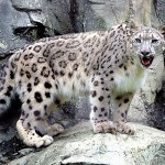 Snow leopards facts - 271552