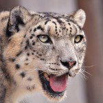 Snow leopards location - 271554
