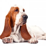 The Basset Hound - 269462