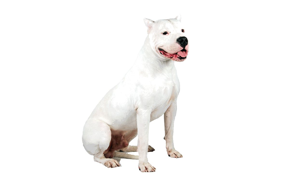The Dogo Argentino