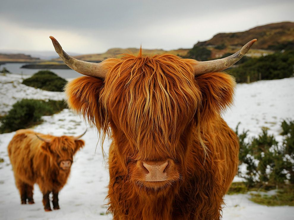 The Highland breed