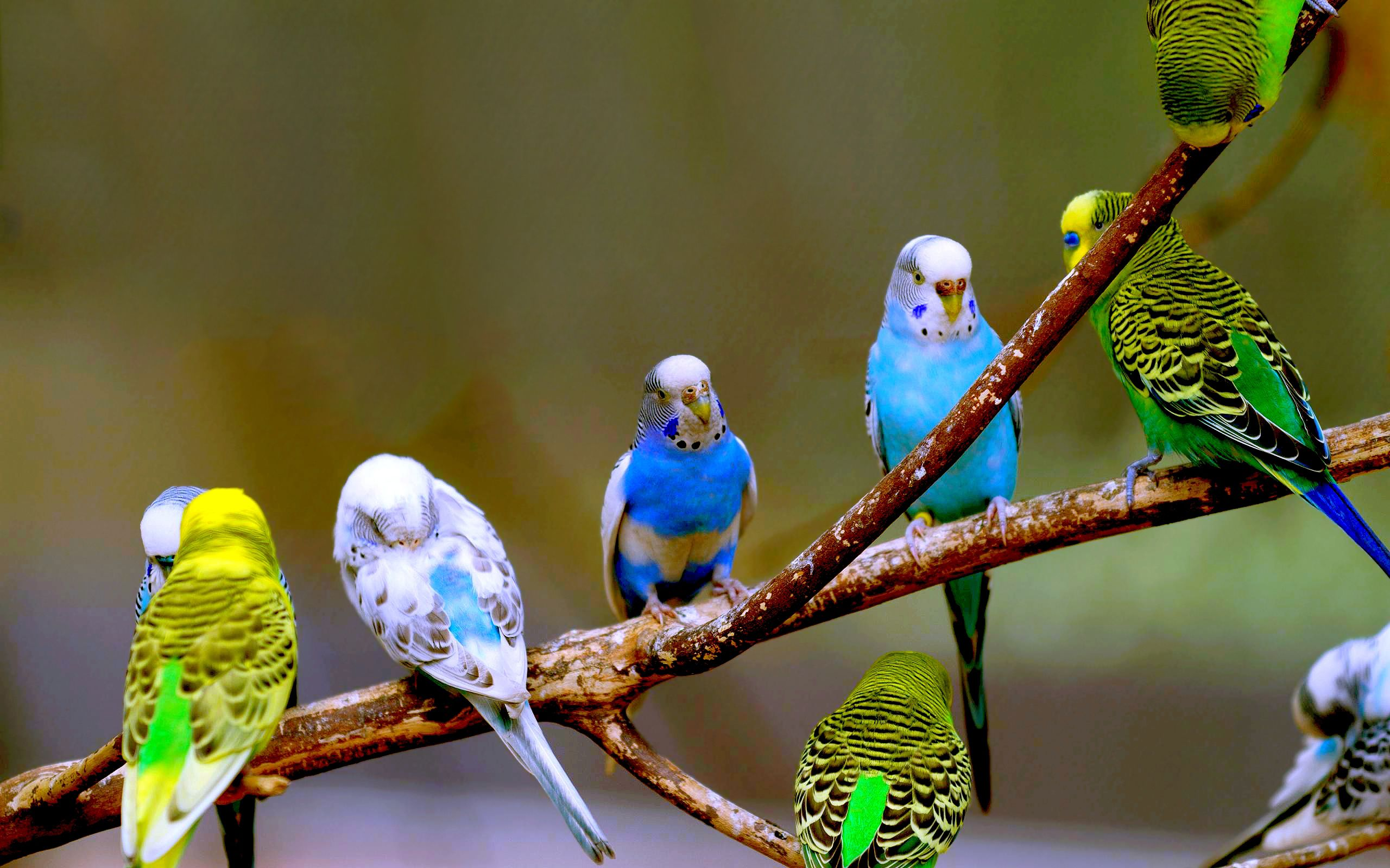The budgerigar size