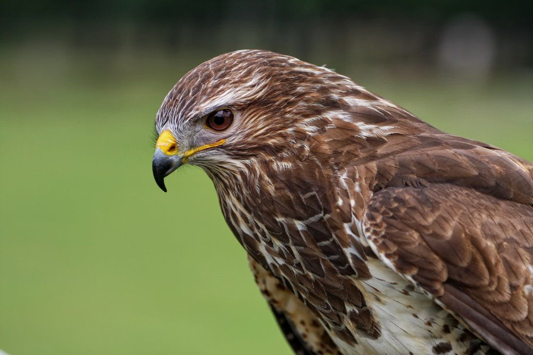 The common buzzard facts