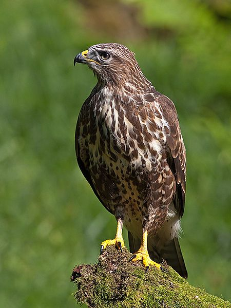 The common buzzard location