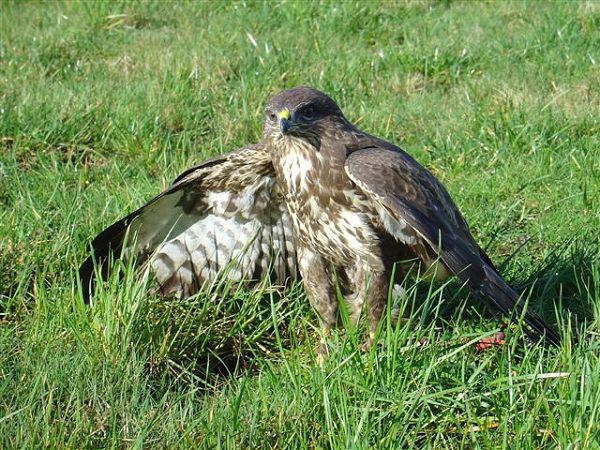 The common buzzard is found in a variety of habitats particularly