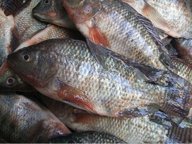The weakest and strongest memory animals The weakest and strongest memory animals Tilapia fish Optimized