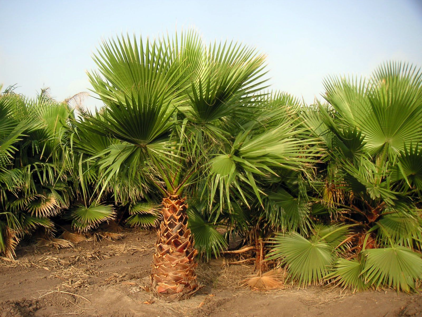 Types of Palm Tree
