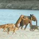 شاهد فيل يهزم 14 أسد