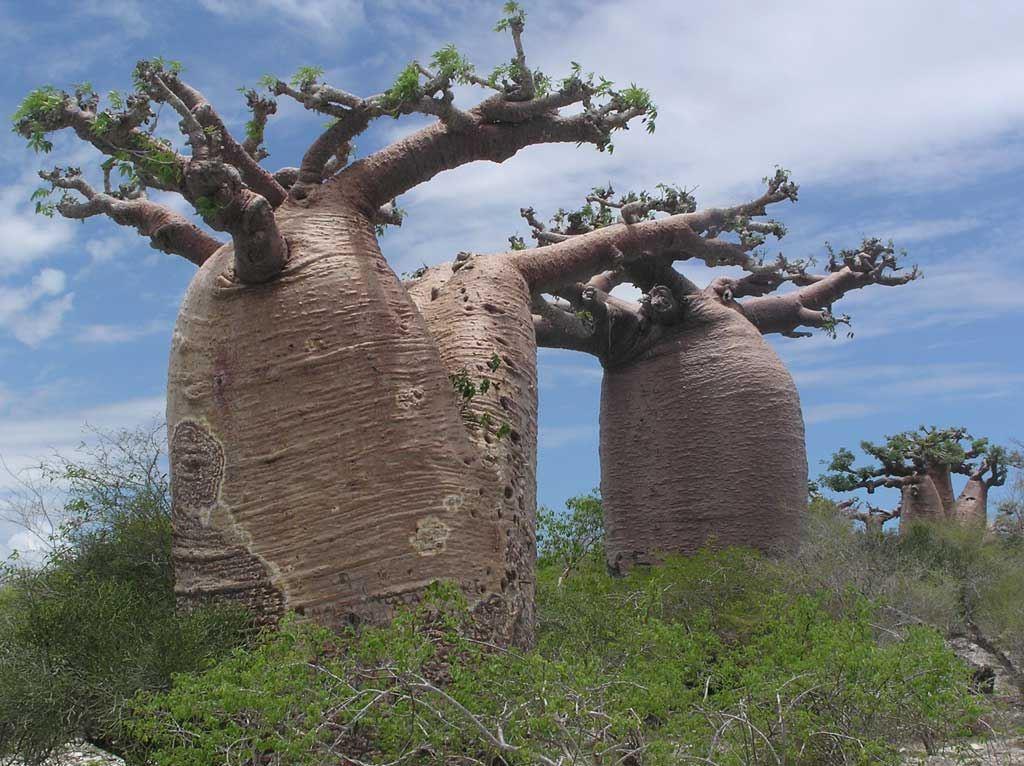 تعرف على شجرة الباوباب الشجرة العملاقة