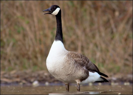 معلومات رائعة الوز الكندي Canada-Goose-at-The-