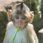 Crab-eating macaque - 277284