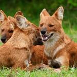 الكلب البري الهندي ... الكلب الأحمر