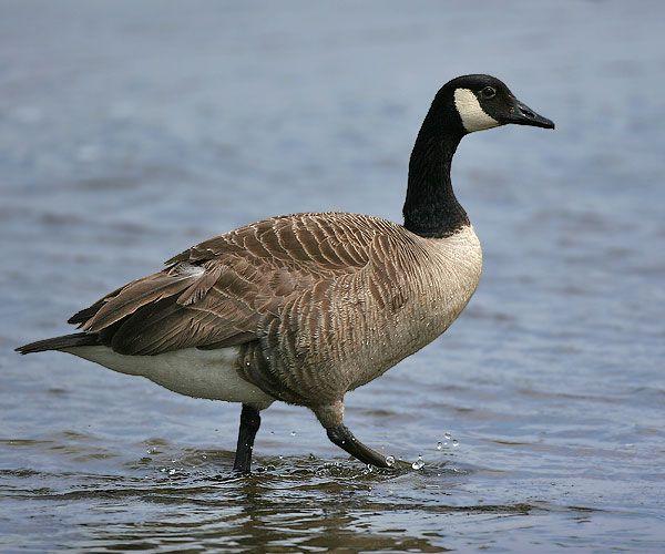 معلومات رائعة الوز الكندي Goose-Animal-Totem.j
