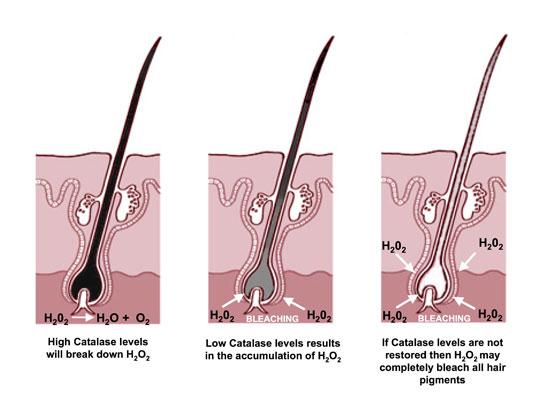 صبغة الميلانين في جسم الانسان المرسال