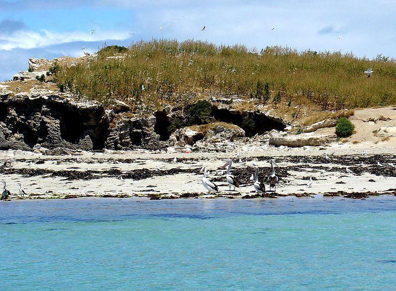 Penguin Island is a 12.5 ha island off the coast near Perth