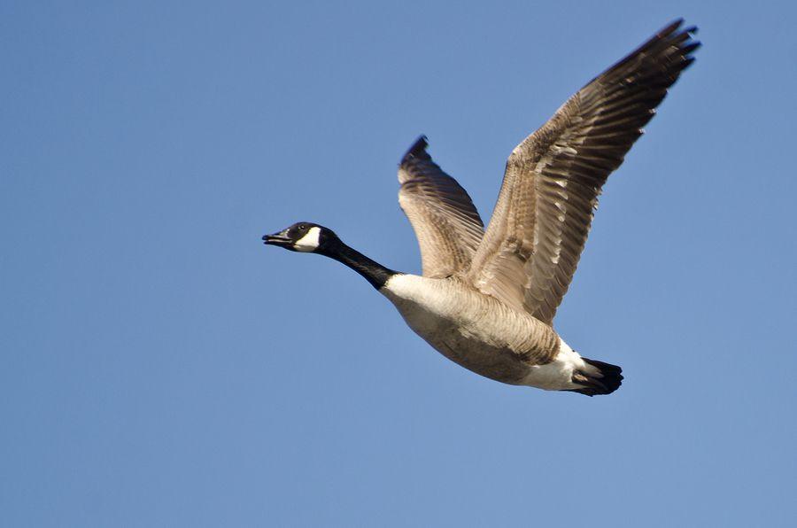 معلومات رائعة الوز الكندي The-Canada-goose-wid