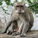The crab-eating macaque is widely dispersed - 277287