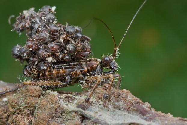 البق القاتل – Assassin Bug