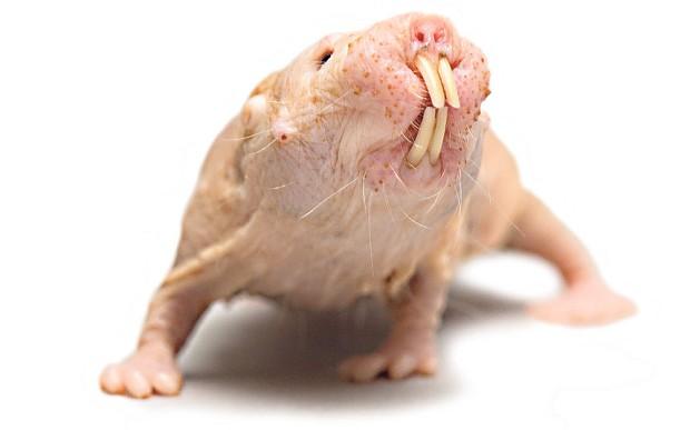 فأر الخلد العاري