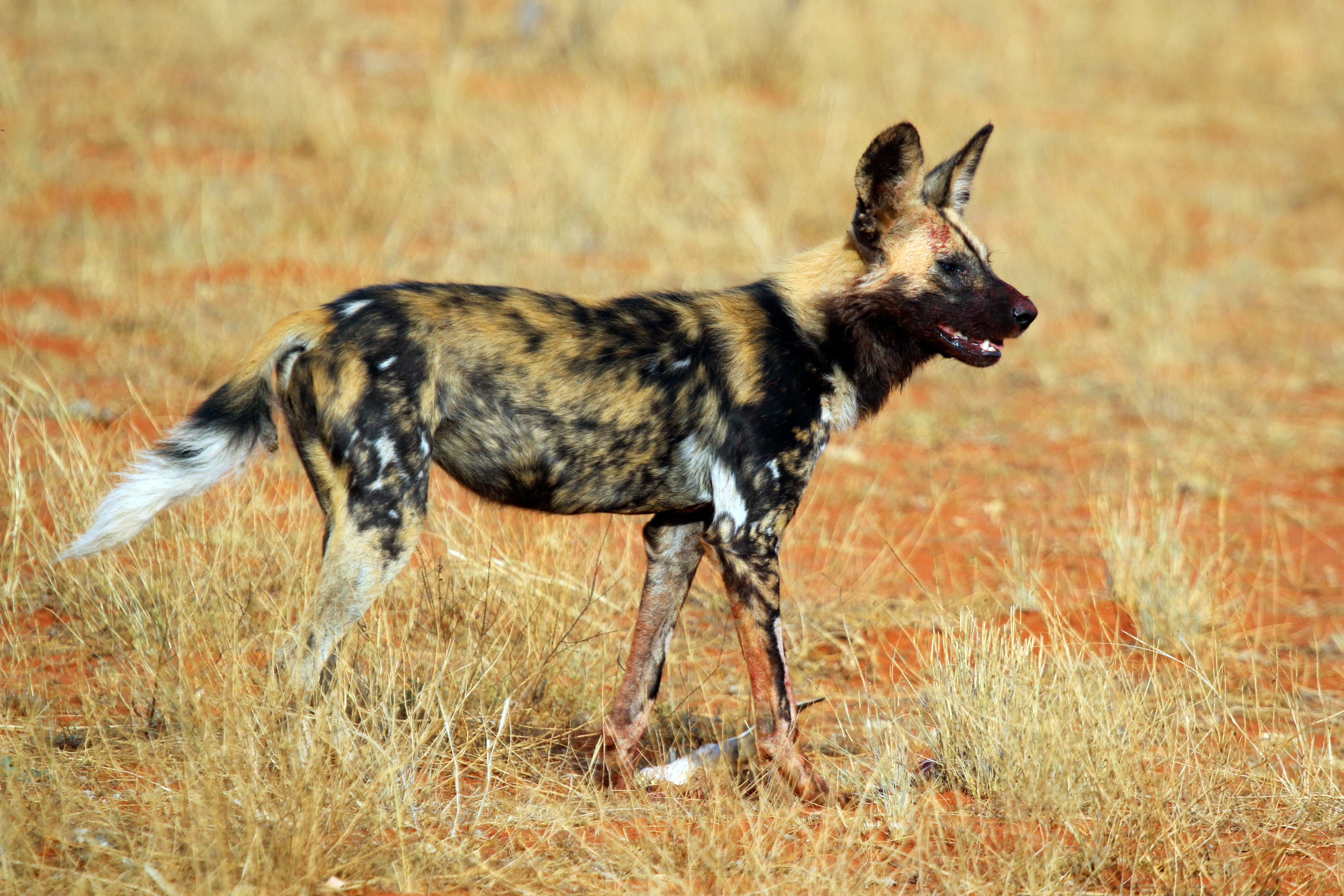 African wild dog can run 35 miles