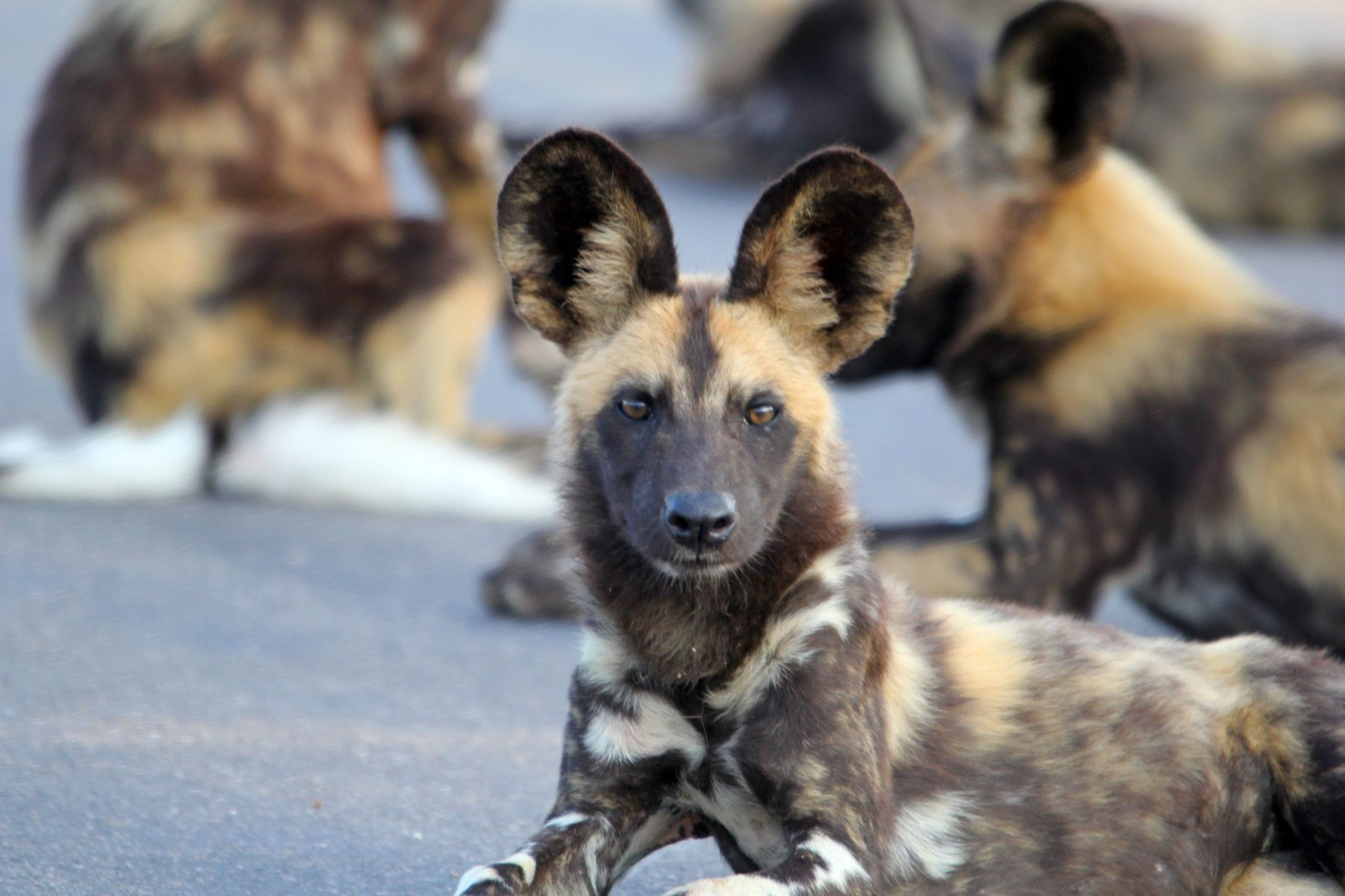 African wild dog looks like a domestic dog