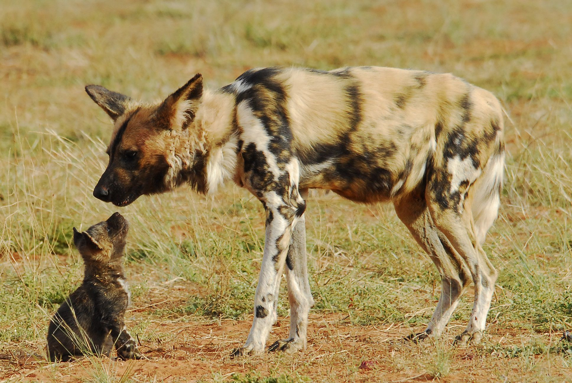for African wild dog coloring pages