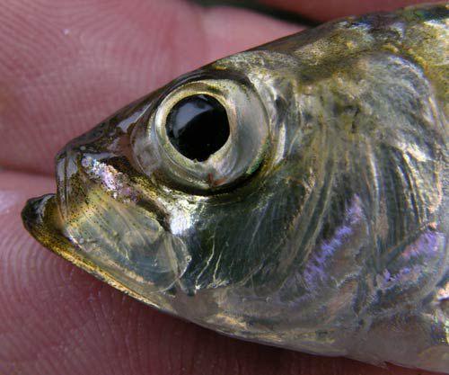 حديقة حيوانات المركز الدولى  - صفحة 5 Alewife-lives-and-travels-in-large-groups-schools-composed-of-thousands-of-fish.