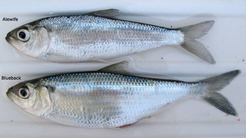 حديقة حيوانات المركز الدولى  - صفحة 5 Alewife-migrates-from-deeper-waters-to-the-surface-to-find-food-at-the-evening.