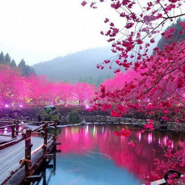 Cherry Blossom Lake – Sakura