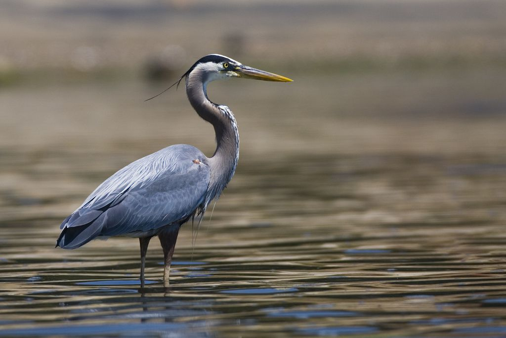 Herons choose new partner for mating each year