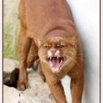 معلومات عن قطط اليغورندي