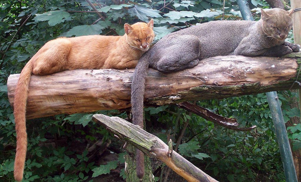 قطط اليغورندي Jaguarondi-is-a-good-climber-and-it-climbs-the-trees-when-it-needs-to-take-a-rest.