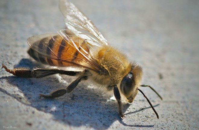 Killer bees usually attack outdoors
