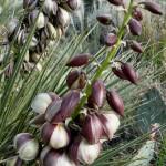"""الفوائد الصحية لعشب يوكا """" Yucca """""""