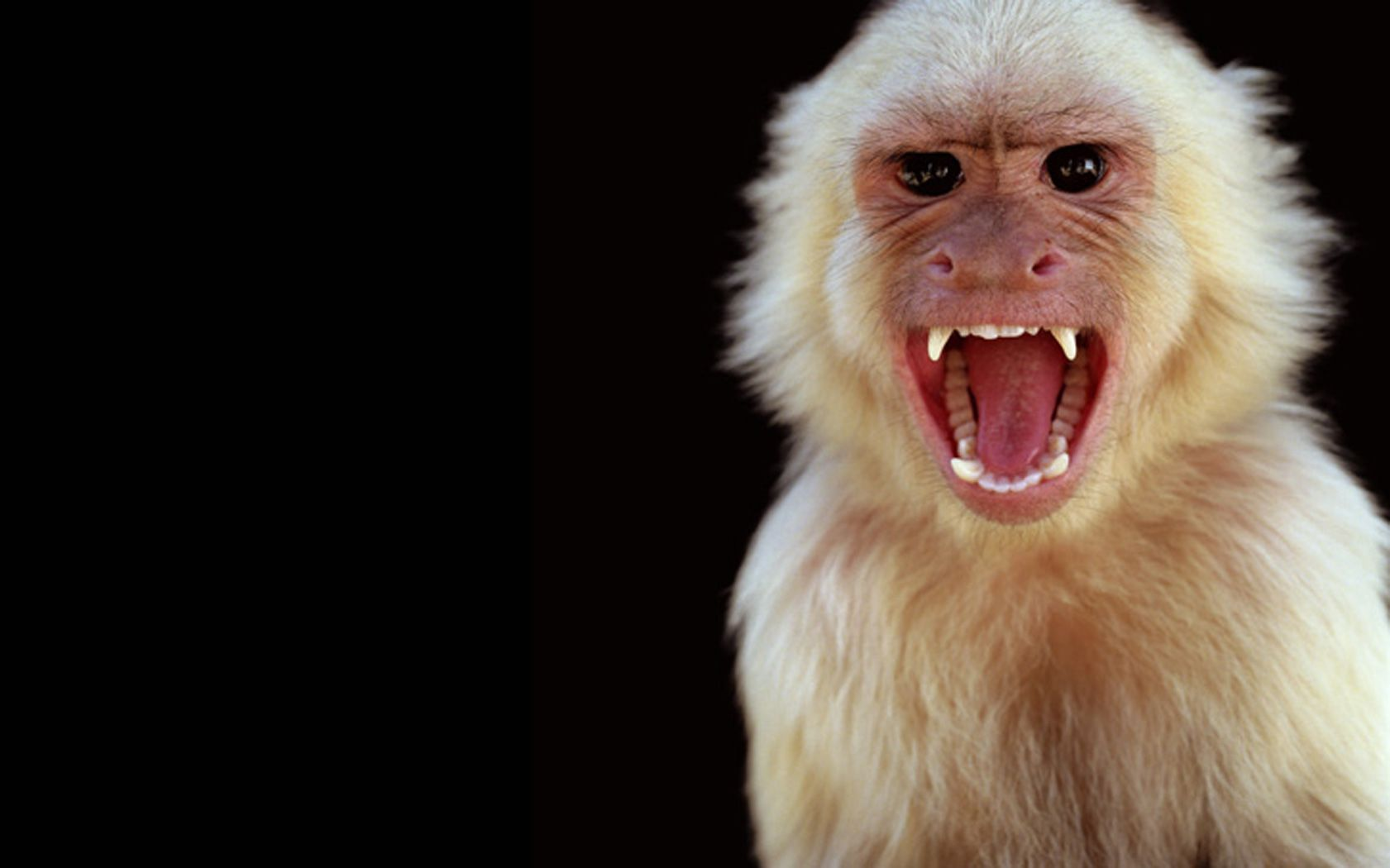 Capuchin monkeys are territorial animals